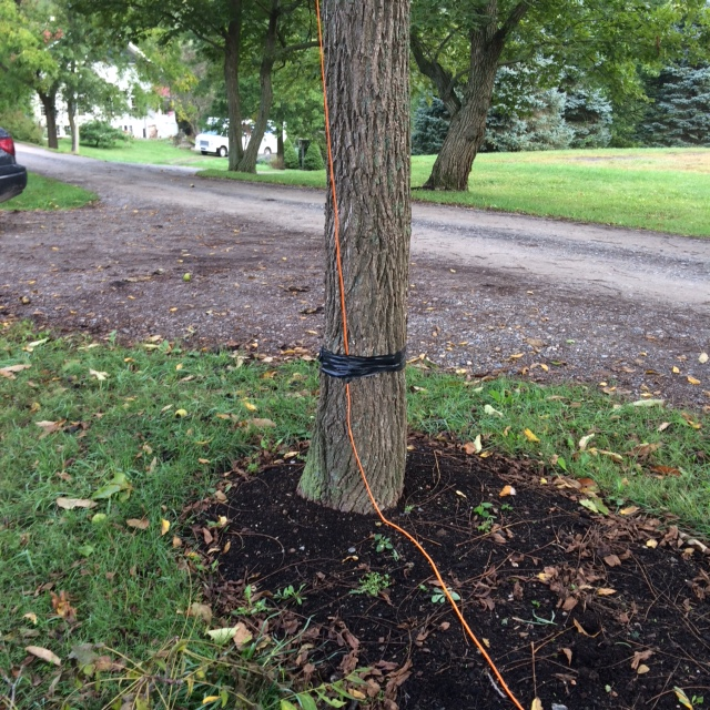 Phone cable going up the tree to cross over the steer shed road.